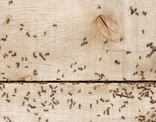 monitoraggio per insetti - monitoraggio formiche